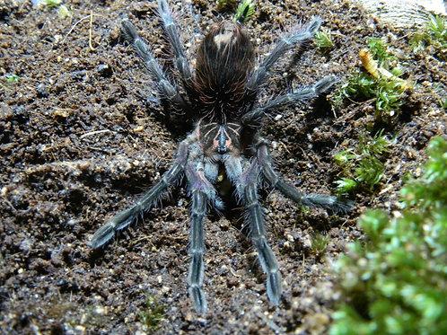 Pamphobeutus sp Costa 8-10cm Female