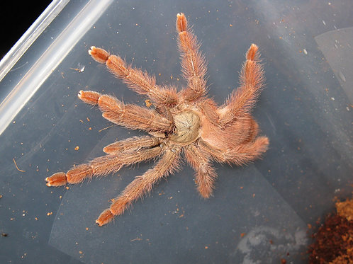 Pseudoclamoris gigas (Orange Tree Spider) 1-2cm