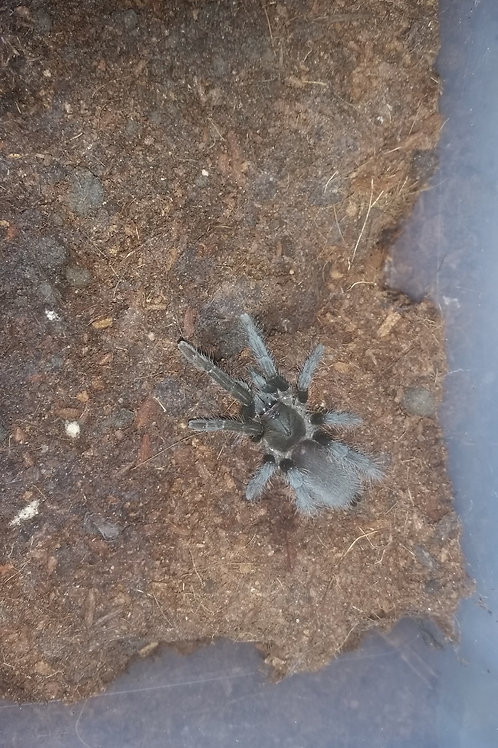 Hysterocrates gigas (Cameroon Baboon) 3-4cm