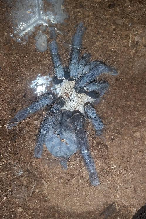 Cyriopagopus sp Hati Hati (Hati Hati Purple) 8-10cm Female