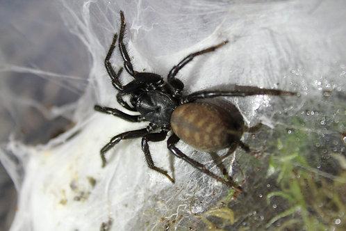 Macrothele holsti (Funnel-Web) 0.5cm