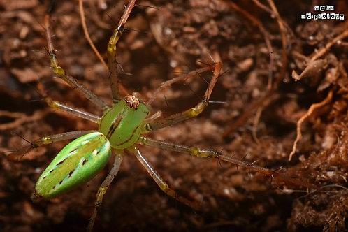 Peucetia cf lucasi (Lynx Spider) 0.5-1cm