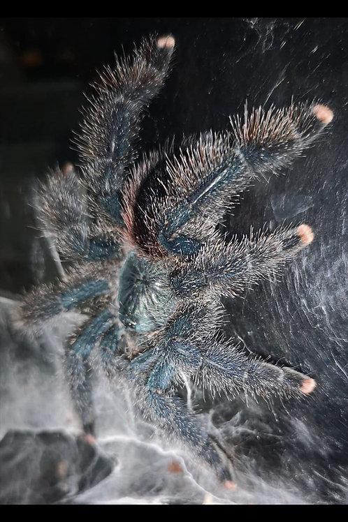 Avicularia avicularia (Guyana Pink Toe) 4-6cm