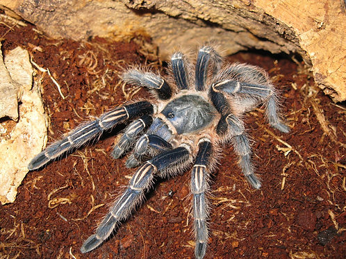 Aphonopelma seemani (Zebra Leg) 1-2cm