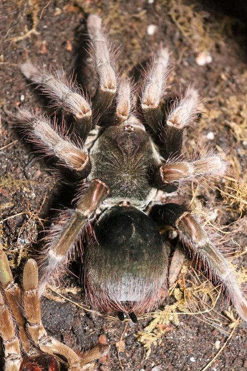Pamphobeteus sp hexa 2-3cm