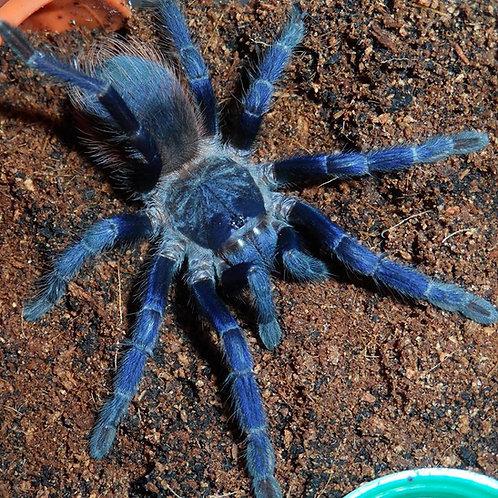 Pterinopelma sazimai (Brazilian Blue) 3-4cm