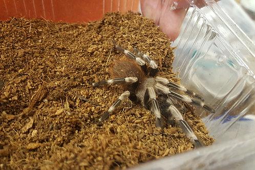 Nhandu chromatus (Brazilian Red and White) 1cm