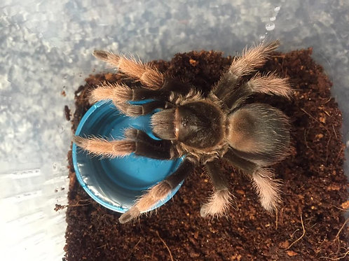 Brachypelma klaasi (Mexican Pink Beauty) 7-9cm Female