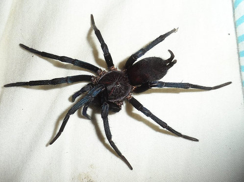 Linothele fallax (Tiger Spider) 2cm