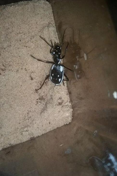 Anthia sexmaculata (Egyptian Predatory Beetle)