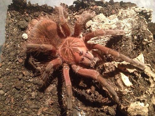 Pamphobeteus sp insignis (Ecuador) 2-3cm