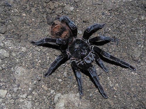 Xenesthis sp tenebris 6-8cm Female