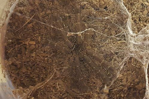 Lampropelma carpenteri (Sulawesi Black) 9-11cm Female