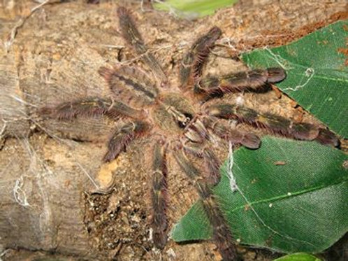 Poecilotheria Rufilata (Red Slate Ornamental) 10-12cm Female