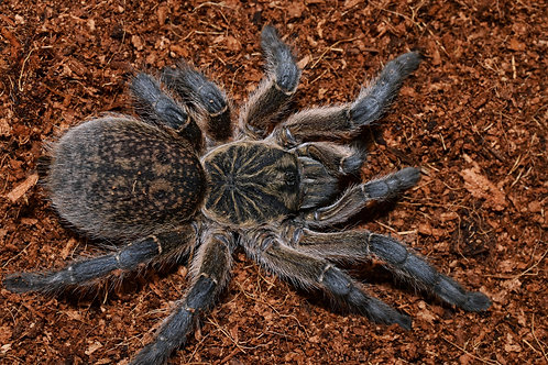 Harpactira pulchripes (Golden Blue Legged Baboon) 1-2cm