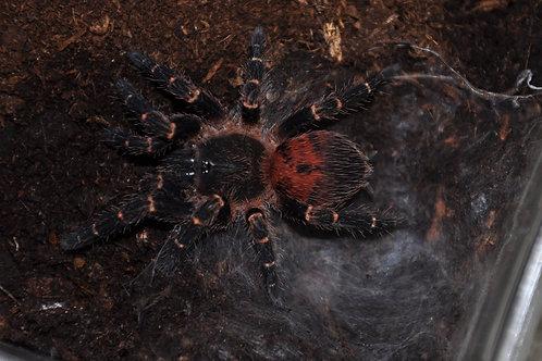 """Neischnocolus sp. """"Panama"""" (ex Ami) 0.5-1cm"""