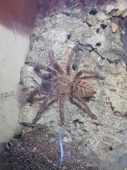 Phormingochilus sp akcaya 5-7cm