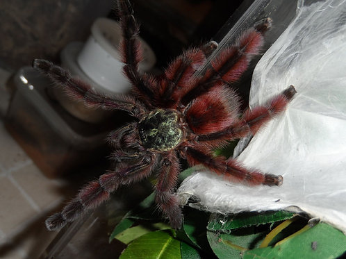 Caribena versicolor (Martinique Pink Toe) 3-4cm