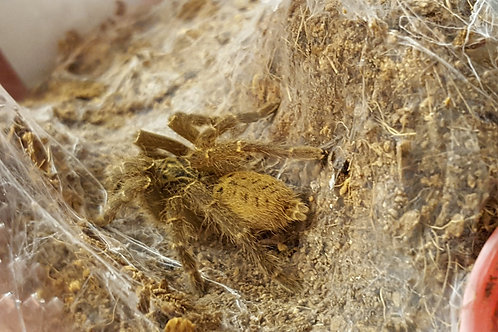 Pterinochilus Lugardi (Fort Hall Baboon) 4-6cm Female