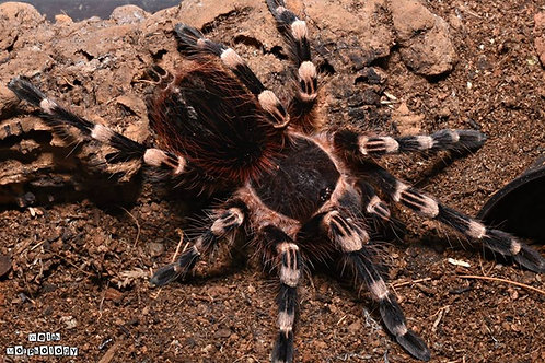 Acanthoscurria geniculata (Brazilian Giant White Knee) 4-6cm Female