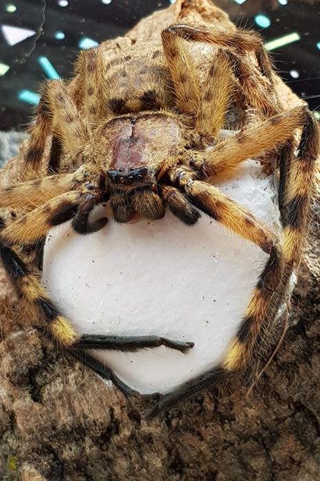 Barylestis scutatus (Cameroon Crab Spider) SA/A