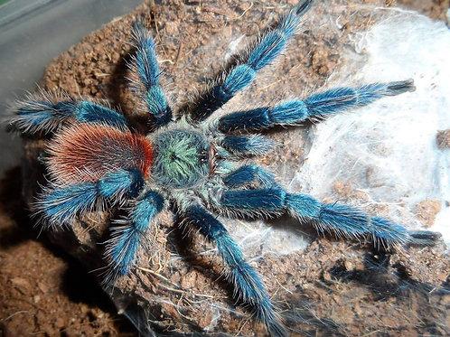 Dolichothele diamantinensis (Brazilian Blue Dwarf Beauty) 1-2cm