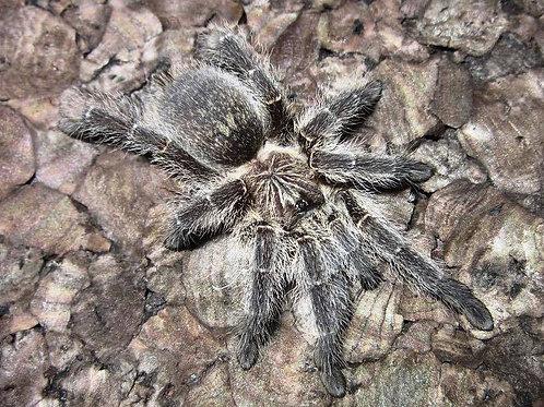 Harpactira namaquensis (Bronze Baboon) 1cm