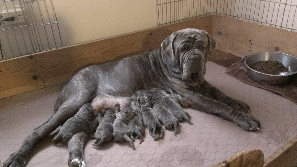 Ada & her first litter sired by Sev