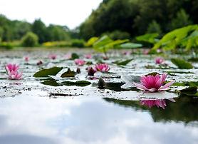 fiori di loto rosa su stagno_edited.jpg