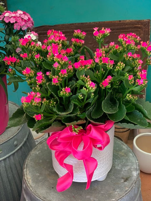 6in. Kalanchoe Plant in Decorative Container