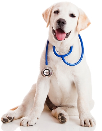 lab_pup_stethescope.png