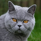 portée chatterie british shorthair