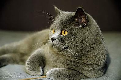 british shorthair bleu blue chatons elevage à vendre
