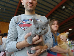 chaton à vendre, bruxelles, brabant, british