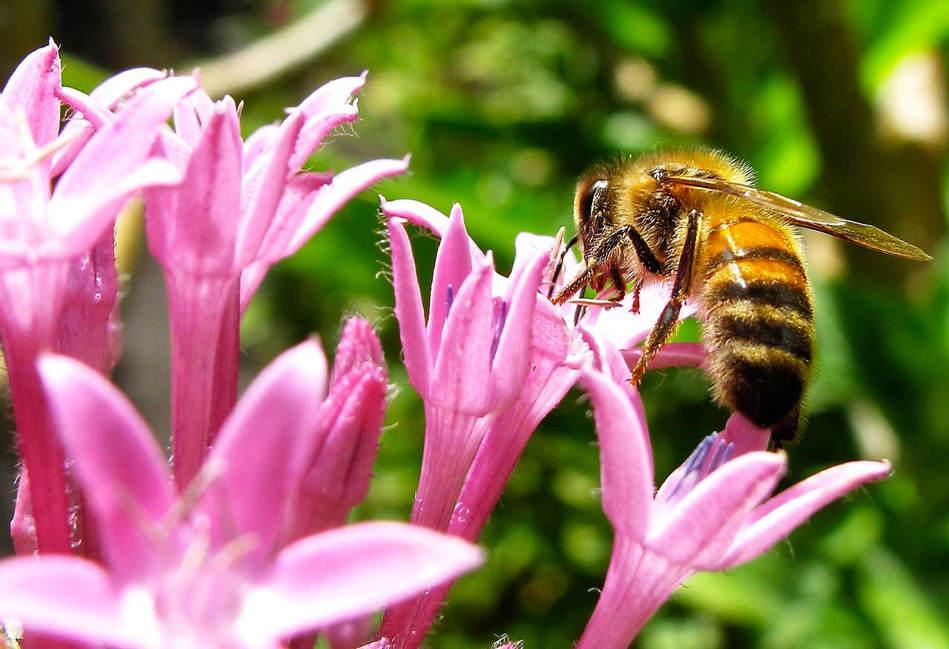 Bee Gathering Nectar