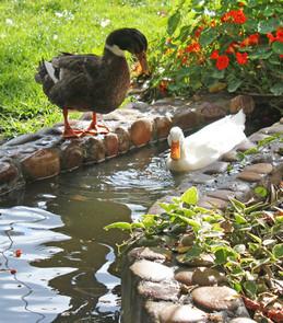 Ducks8.jpg