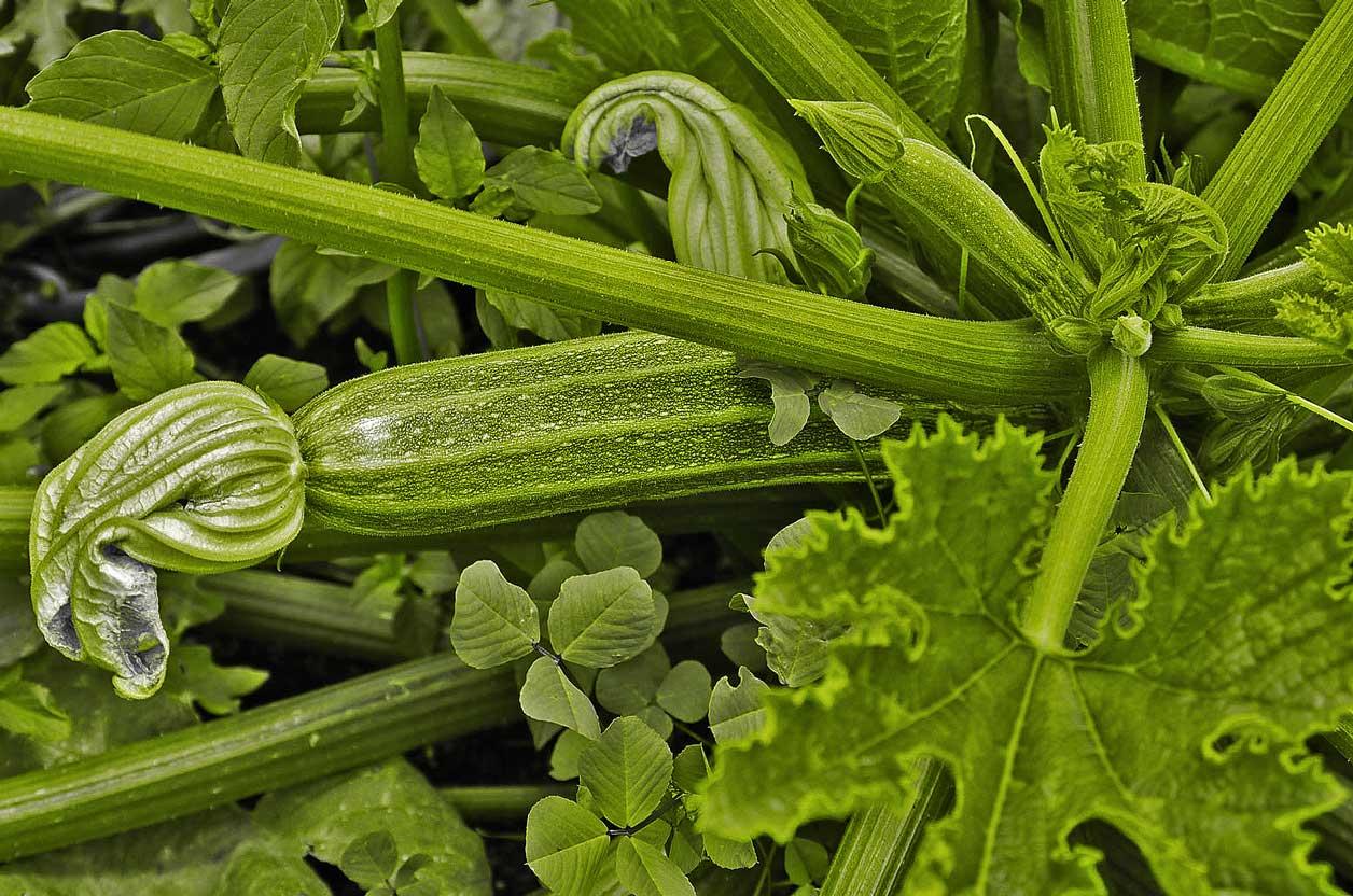 Veggies-3-Zuccini