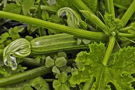 Veggies-3-Zuccini.jpg