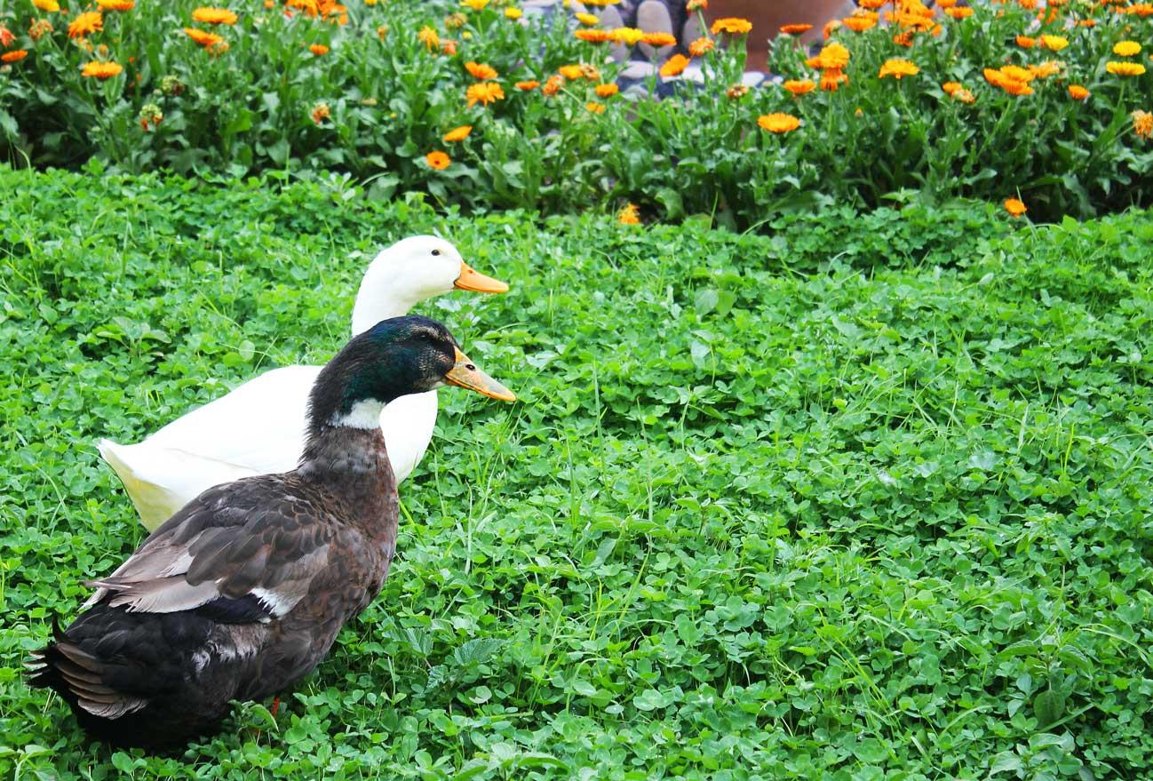 Ducks4
