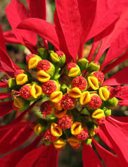 Poinsettia2.jpg