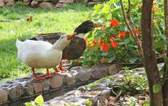 Ducks9.jpg