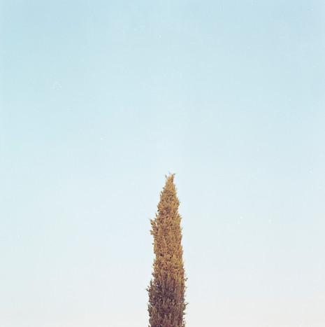 Cypresses II / 2018