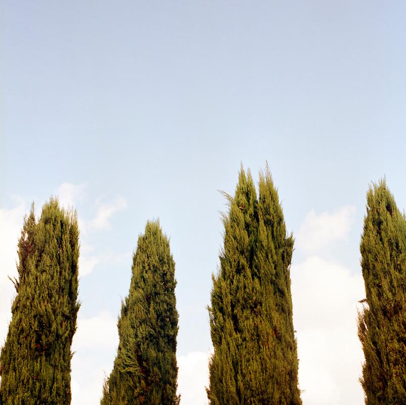 Cypresses V / 2018
