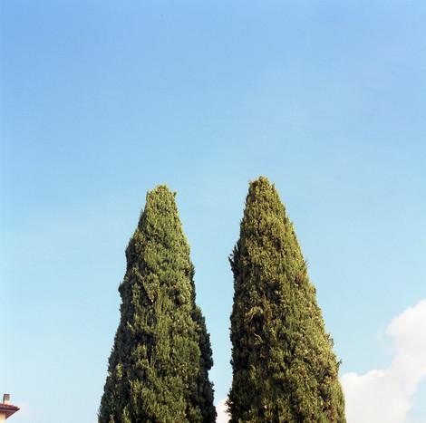 Cypresses VI / 2018