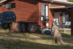 Cottage with Kangaroo