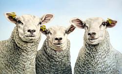 Drie schapen