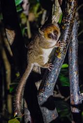 'Goodmans Mouse Lemur' by Sam Young