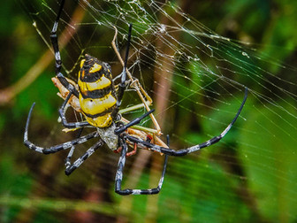 'Golden Orb Spider with Grasshopper' by Sam Young