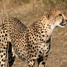cheetah from side.jpg