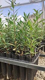 Wild Pear Plants